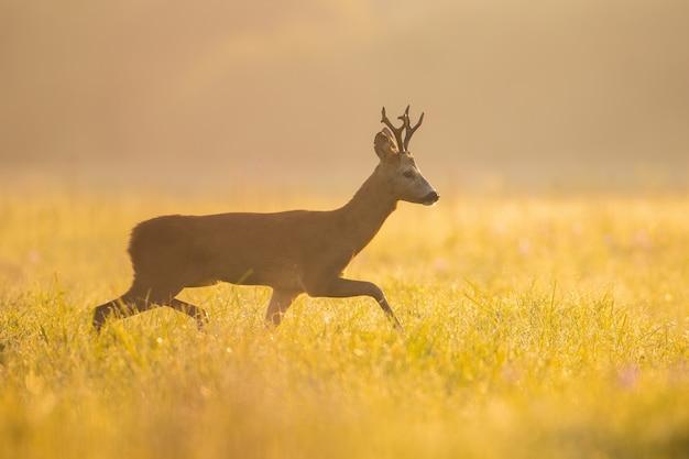 Самец косули гуляет по лугу в лучах летнего утреннего солнца