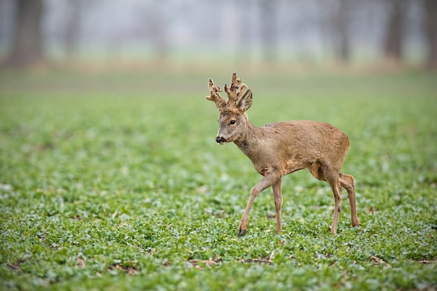 Roe deer buck with antlers covered in velvet walking on a field with copy space