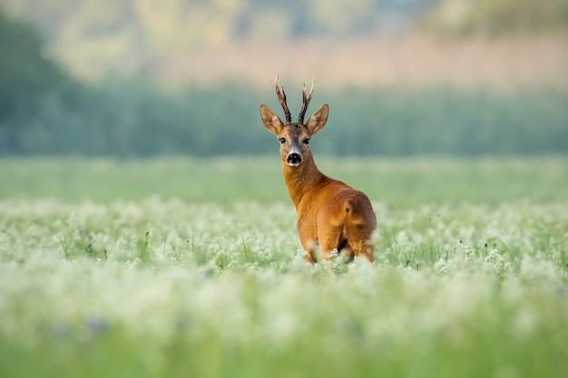 Roe deer buck with dark antlers on a meadow with wildflowers in the morning