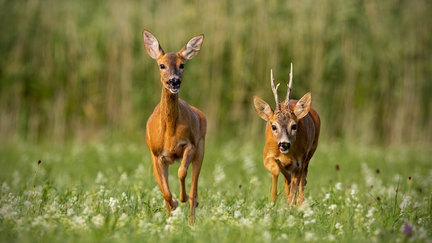 Roe deer, capreolus capreolus, buck and doe during rutting season.