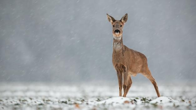 ノロジカ、capreolus capreolus、降雪時の冬のdoe