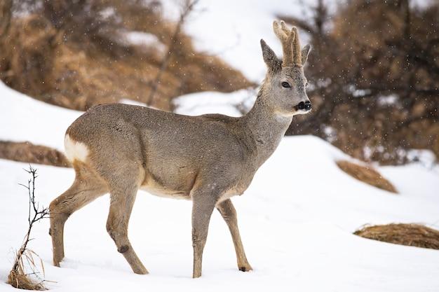 Косуля, capreolus capreolus, прогулки по заснеженной поляне в зимней природе.