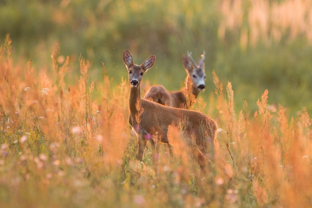 Roe deer couple standing on the meadow at sunset