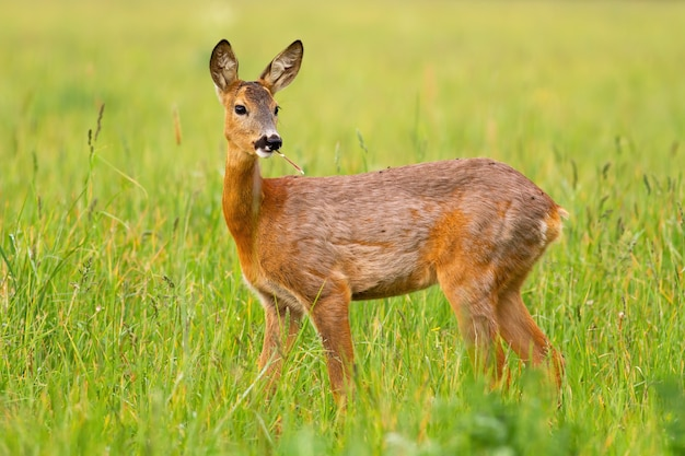 Roe deer doe chewing grass on a green meadow in spring nature.
