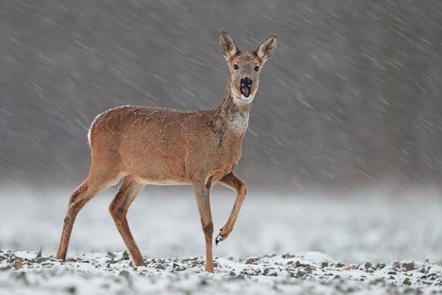 冬の降雪時のノロジカ。