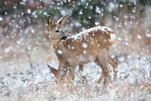 Roe deer doe observing on field in blizzard in winter