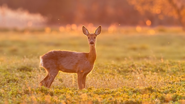Roe deer doe standing on a green field in spring nature backlit by evening sun.