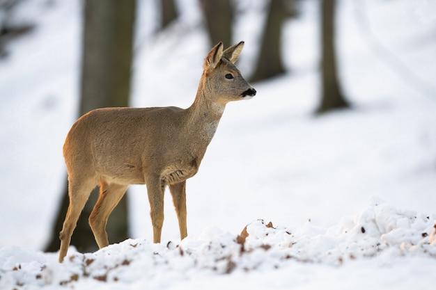 Косуля, стоя в лесу зимой