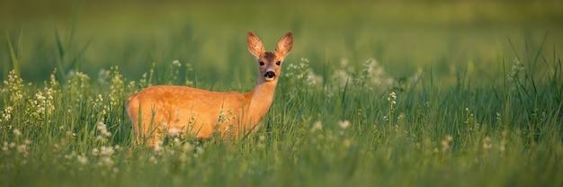 Roe deer doe standing on meadow in summer