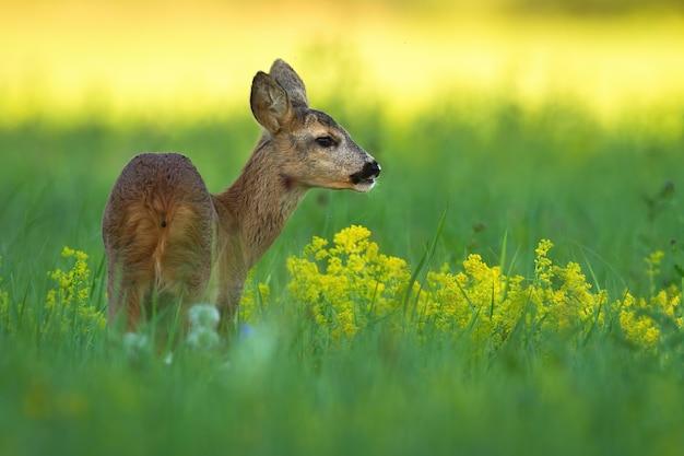 Косуля, стоя на лугу в летней природе
