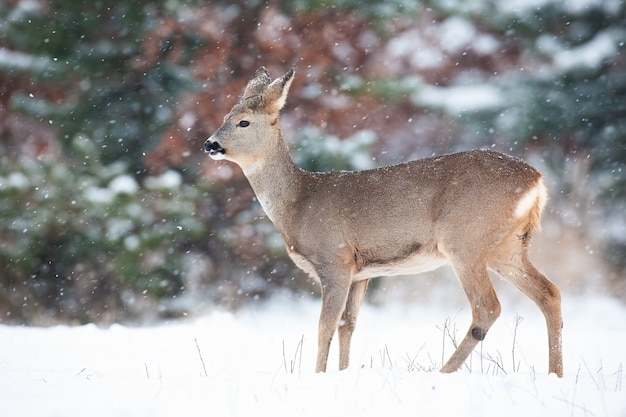 Косуля, стоя на лугу в зимней природе.