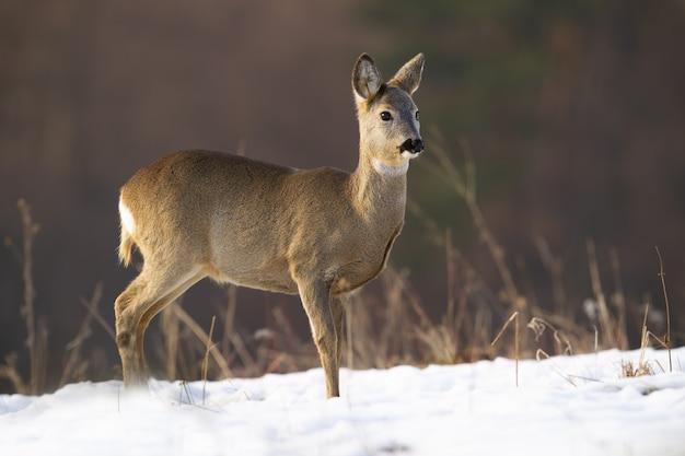 冬に牧草地に立っているノロジカ
