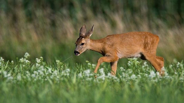 Roe deer doe walking on green meadow among white wildflowers in summer nature