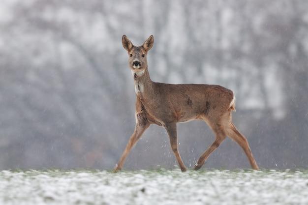 Roe deer doe walking on meadow in wintertime nature