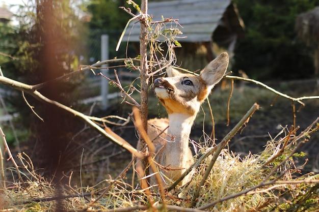 ノロジカは農場のフェンスで食べ物を食べる。動物の壁。セレクティブフォーカス