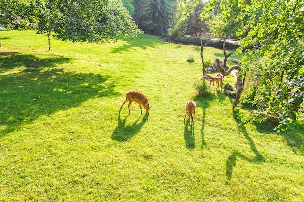 草原の新鮮な草を食べるノロジカ、トップビュー。野生動物、動物、動物園、哺乳類のコンセプト
