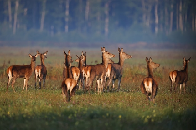 Семья косули гуляет по зеленому полю рано утром