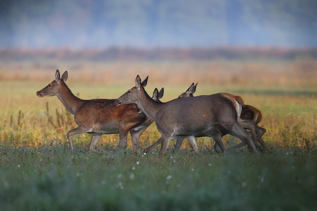 Roe deer family walks through a green field in the early mornings