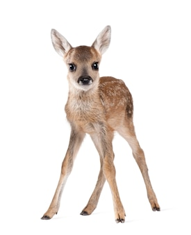 Roe deer fawn - capreolus capreolus on white isolated