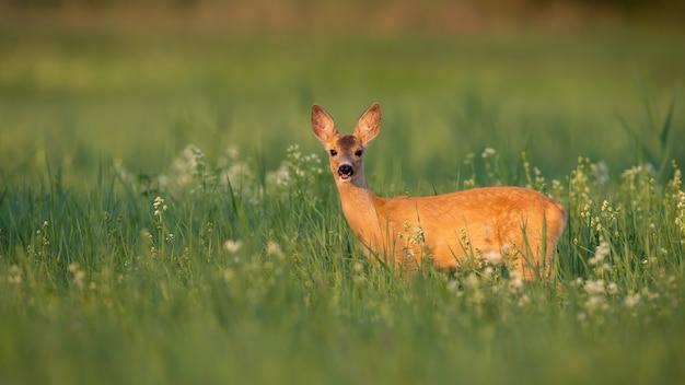 夏の日差しの下で花や草から見たノロジカの子鹿