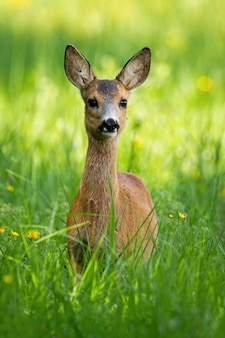 Roe deer fawn standing on meadow during the spring