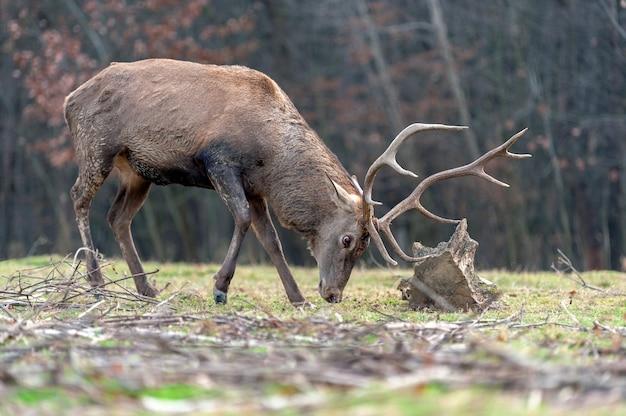 秋の森の木の根と戦うノロジカ