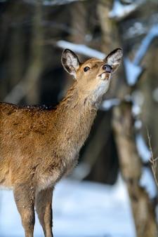 Косуля в зимнем лесу. животное в естественной среде обитания. сцена дикой природы