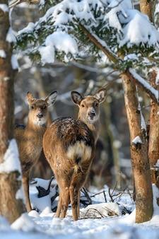 冬の森のノロジカ。自然の生息地の動物。