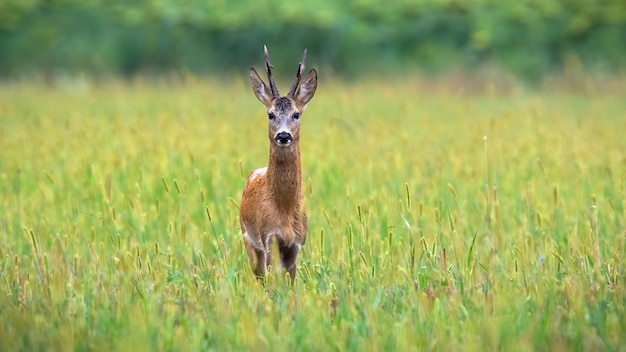 Roe deer looking on lawn in front of sunflowers
