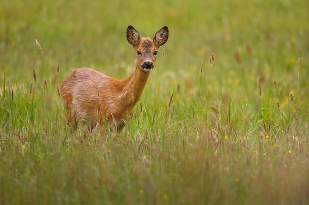 Capriolo nella natura magica bella fauna selvatica europea animale selvatico nell'habitat naturale