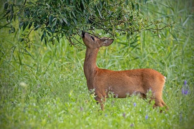 Самец косули кормится веткой дерева на лесном лугу летом
