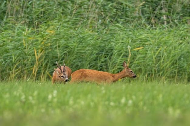 Самка косули самец нюхает в гона сезон на лугу.