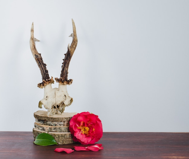 Roe deer skull with camellias for decoration.