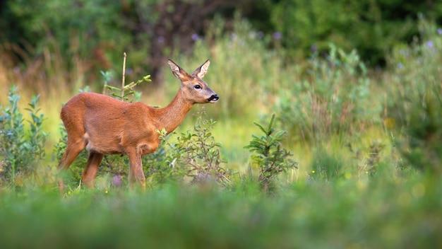 Косуля крадется на пастбище в летней природе