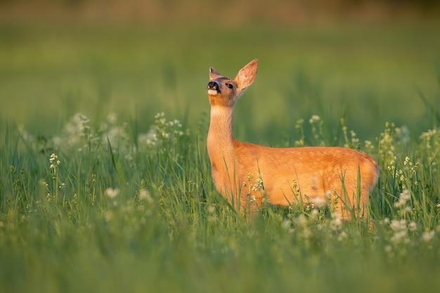 Косуля нюхает на цветущем лугу в летнем солнечном свете