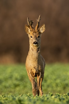 Roe deer stag at sunset with winter fur.