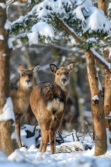 Roe deer in the winter forest. animal in natural habitat.