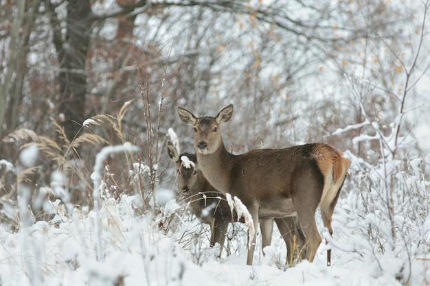 Косуля со своим потомством в зимнем пейзаже