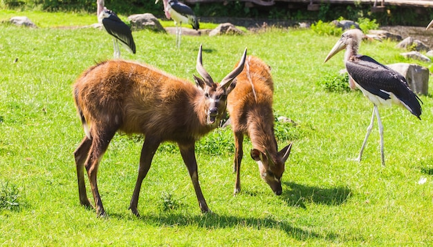 Roe deers on the meadow. zoo, wild animals and mammal concept