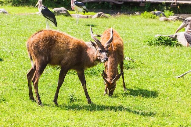Roe deers on the meadow