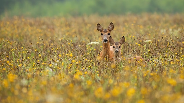 Косуля стоя в полевых цветах летом