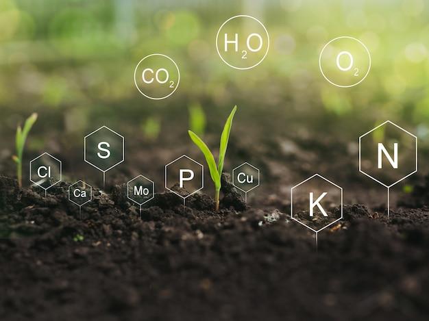 옥수수 식물에서 미네랄 영양소의 역할과 디지털 미네랄 영양소와 토양 생활