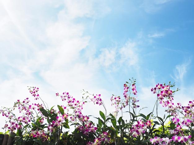 맑고 푸른 하늘과 흰 구름 위에 울타리에 분홍색과 흰색 난초의 롤. 복사 공간이 있는 자연 봄과 여름 배경.