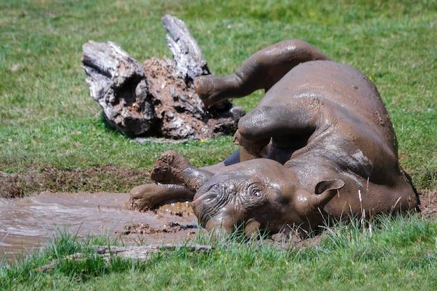 Катящийся носорог (rhinocerotidae) в парке диких животных и сафари в порт-лимпне