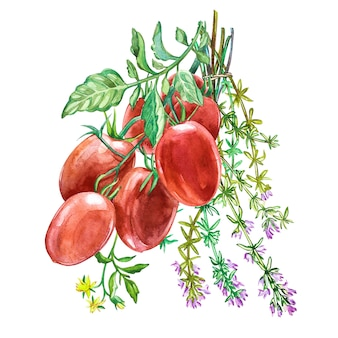 Roma tomato with thyme. watercolor hand drawn illustration.