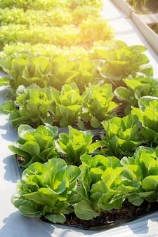 Свежий саженец зеленого салата romaine cosma органическая ферма в плантации.