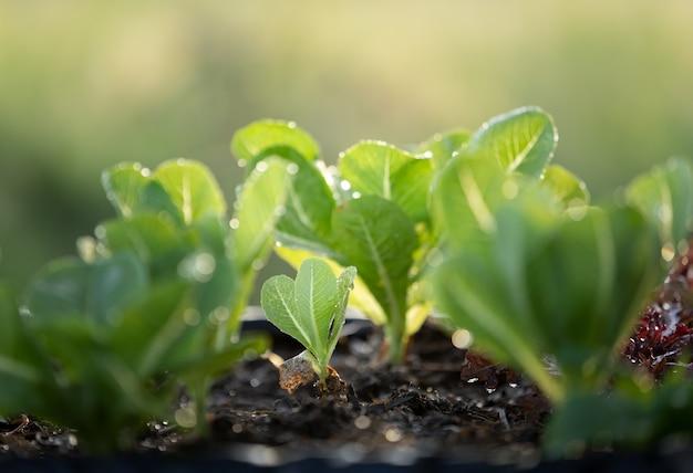 Romaine lettuce salad in organic farm