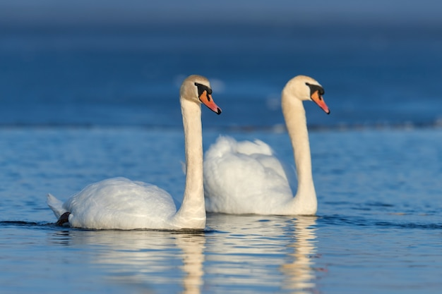 Романтическая пара лебедей на озере. отражение лебедя в воде