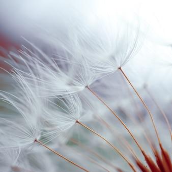 봄 날 매크로 민들레 씨앗에 로맨틱 민들레 꽃