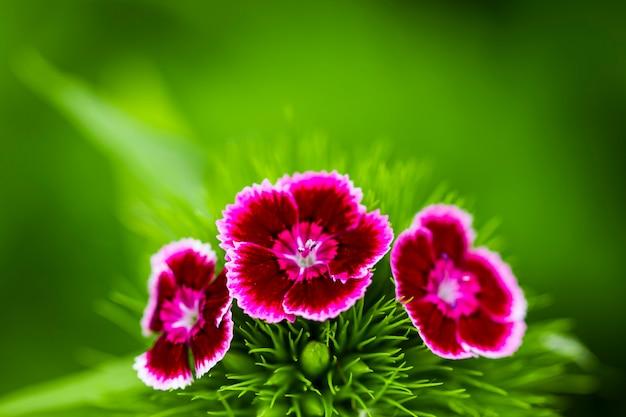 봄 정원에서 낭만적 인 분홍색 모란.